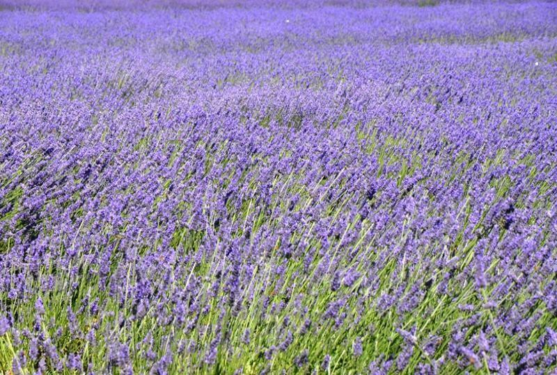 Lavender Farm in East Marion